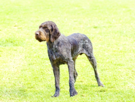 A young, beautiful, liver, black and white ticked German Wirehaired Pointer dog standing on the lawn. The Drahthaar has a distinctive eyebrows, beard and whiskers and straight harsh wiry coat. Stock Photo - 24093664