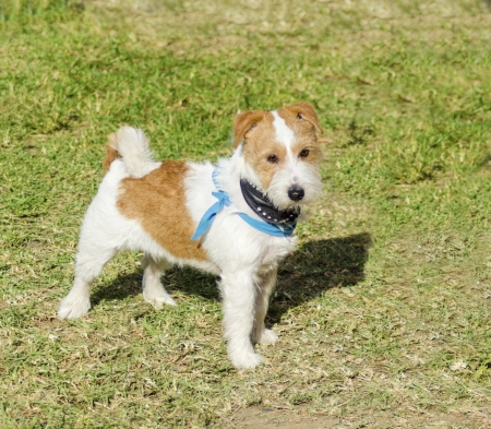 A small white and tan rough coated Jack Russell Terrier dog standing on the grass, looking very happy, wearing a black and blue bandana. Jack russells are a highly intelligent  breed and view life as a great adventure.  photo