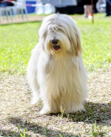 scottish collie: A young, happy, beautiful white fawn Bearded Collie standing on the grass. Beardie dogs have a long coat and were used for herding. Stock Photo