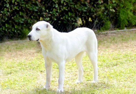 central asia shepherd dog: A young beautiful white Central Asian Shepherd Dog standing on the grass. The Central Asian Ovtcharka is a large robust dog, usually with small cropped ears and thick double coat.