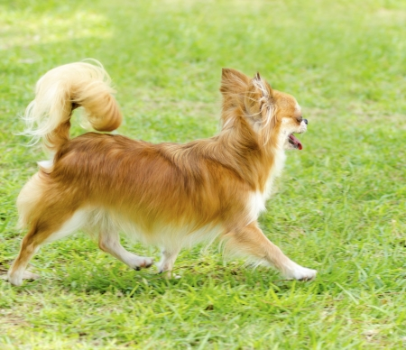 A small, young, beautiful, red and cream, brown, long coated Chihuahua running happily on the lawn. Chihuahua dogs are the smallest in size. Stock Photo - 24171743