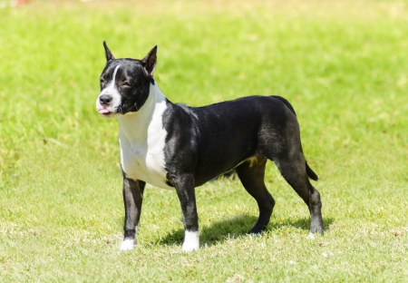cropped out: A small, young, beautiful, black and white American Staffordshire Terrier standing on the grass while playfully sticking its tongue out looking like it is mocking someone. Its ears are cropped.