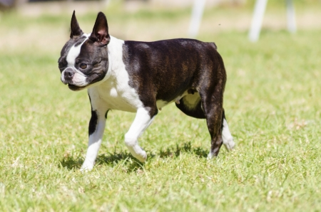 bull terrier: A small, young, beautiful, black and white Boston Terrier dog walking on the grass, aka Boston Bull. Boston Terriers are highly intelligent and easily trainable.