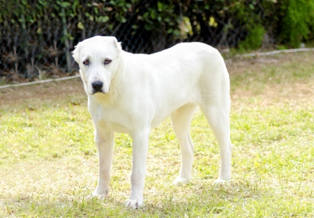 alabai: A young beautiful white Central Asian Shepherd Dog standing on the grass. The Central Asian Ovtcharka is a large robust dog, usually with small cropped ears and thick double coat.