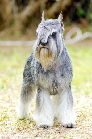 A small salt and pepper, gray Miniature Schnauzer dog standing on the grass, looking very happy. It is known for being an intelligent, loving, and happy dog photo