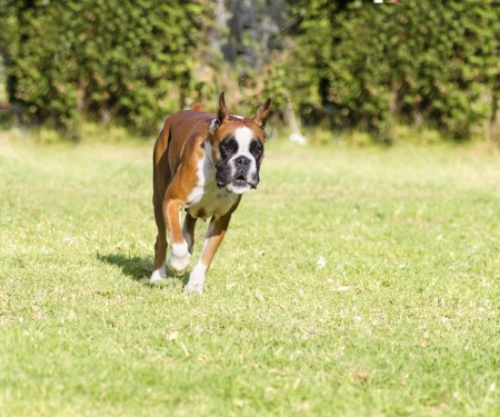 A young, beautiful, fawn red mahogany and white, medium sized Boxer dog with cropped ears running on the grass. Boxers have a short and blunt muzzle and they are a highly intelligent and energetic breed. photo
