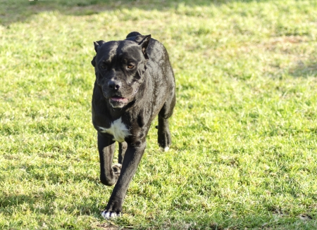 italian mastiff: A young, beautiful black and white medium sized Cane Corso dog with cropped  ears running on the grass. The Italian Mastiff is a powerfully built animal with great intelligence and a willingness to please. Stock Photo