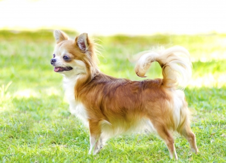 A small, young, beautiful, red and cream, brown, long coated Chihuahua standing happily on the lawn. Chihuahua dogs are the smallest in size.