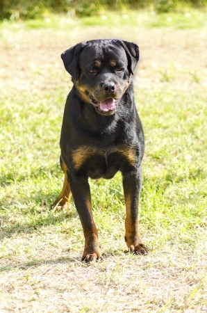 A healthy, robust and proudly looking Rottweiler dog with undocked tail standing on the grass. Rotweillers are well known for being intelligent dogs and very good protectors. photo