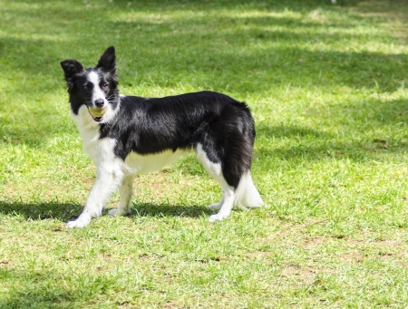 A young, healthy, beautiful, black and white Border Collie dog standing on the grass looking very happy holding a ball in its mouth. The Scottish Sheep Dog is ranked as one of the most intelligent breeds photo