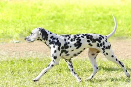 A young beautiful Dalmatian dog running on the grass distinctive for its white and black spots on its coat and for being alert, active and an intelligent breed. Banco de Imagens