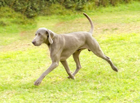 pure bred: A young, beautiful, silver blue gray Weimaraner dog running on the lawn with no docked tail