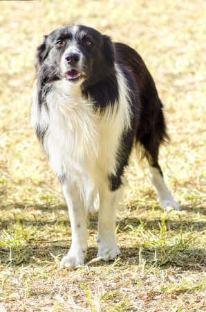 A young, healthy, beautiful, black and white Border Collie dog standing on the grass looking very happy  The Scottish Sheep Dog is ranked as one of the most intelligent breeds