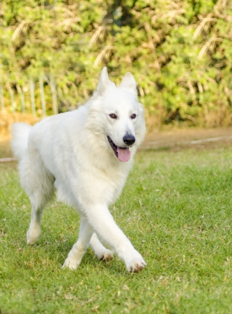A young beautiful Berger Blanc Suisse dog walking on the grass  The White Swiss Shepherd dog looks like a German Shepherd but it is white  Distinctive for being long white coat and fr being intelligent and courageous   photo