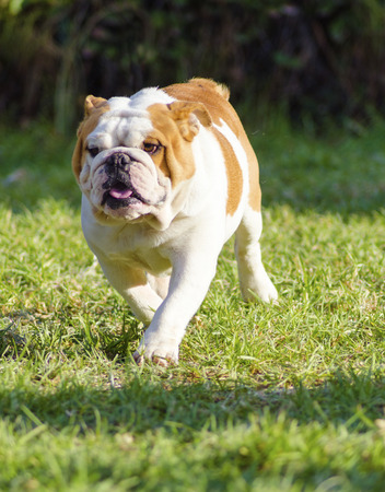 A small, young, beautiful, brown and white English Bulldog running on the lawn looking playful and cheerful  The Bulldog is a muscular, heavy dog with a wrinkled face and a distinctive pushed-in nose  Stock Photo