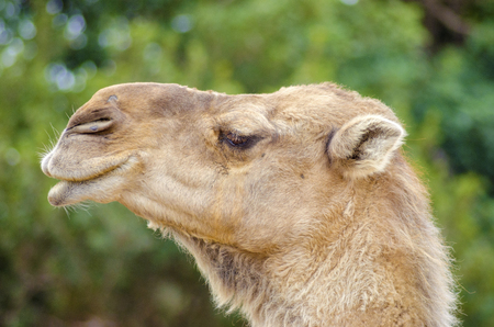 beige lips: A close up profile view of an arabian camel also known as Camelus dromedarius. The dromedary is a large, even-toed ungulate with one hump on its back.