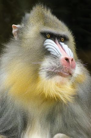 nariz roja: Opini�n del retrato de un mandril macho adulto