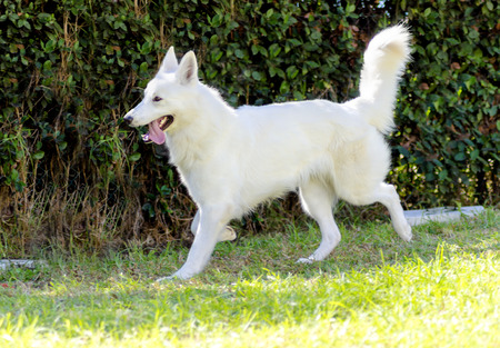 A young beautiful Berger Blanc Suisse dog running on the grass.  photo