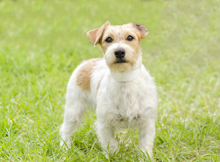 A front view of a small white and tan rough coated Jack Russell Terrier dog standing on the grass, looking very happy.  photo