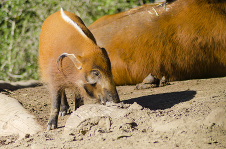 bush hog: A profile view of the red river hog, also known as bush pig, a wild pig sniffing the ground  It has striking red rufus fur with black legs and a tufted white stripe along the spine and ear tufts