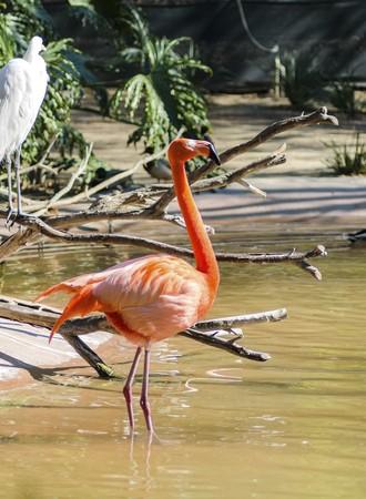 nariz roja: Una vista de perfil de un pie Caribbean Flamingo en el agua, tambi�n conocido como flamenco americano y Phoenicopterus ruber. Distinto por su vibrante color naranja - el plumaje de color rosa, la forma del pico extra�a y gruesa factura torcida.