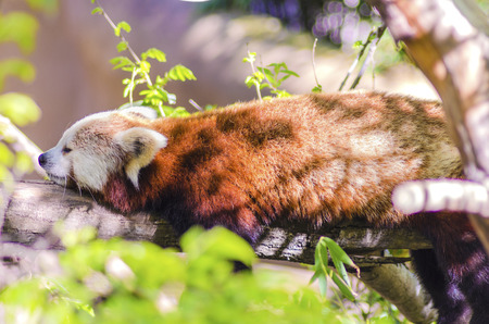 waddling: A beautiful red panda lying on a tree branch sleeping stretched out with its legs hanging dangling down. The red cat bear has a white mask and red brown coat and is called hun ho in Chinese meaning fire fox. Stock Photo