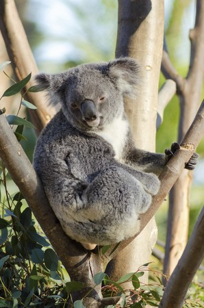 A cute adorable adult koala bear sitting on a tree grasping a branch with its claws. The Phascolarctos cinereus is an arboreal herbivorous marsupial native to Australia with gray fur and round fluffy ears. Stock Photo - 27475718