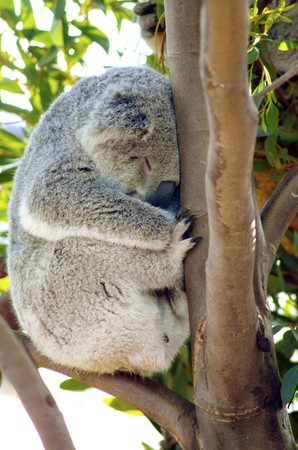 arboreal: A cute adorable adult koala bear sleeping while sitting on a branch and resting its head on a tree. The Phascolarctos cinereus is an arboreal herbivorous marsupial native to Australia. Stock Photo