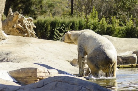 wet bear: A wet white polar bear coming out of the water to rest. It is a very powerful and heavy animal which is rendered an endangered species.