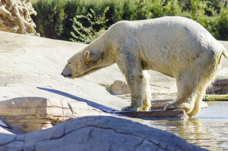 wet bear: A wet white polar bear coming out of the water to rest standing on the edge slouching. It is a very powerful and heavy animal which is rendered an endangered species.