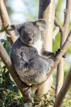 A cute adorable adult koala bear sitting on a tree grasping a branch with its claws. The Phascolarctos cinereus is an arboreal herbivorous marsupial native to Australia with gray fur and round fluffy ears. Stock Photo - 27582354