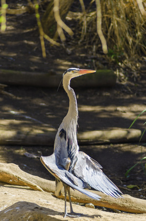 ardeidae: Portrait of a Great Blue Heron standing with its wings spread, the wing tips drooped down and belly feathers puffed out, sunning and drying its wings