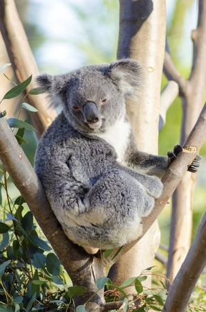 grasping: A cute adorable adult koala bear sitting on a tree grasping a branch with its claws