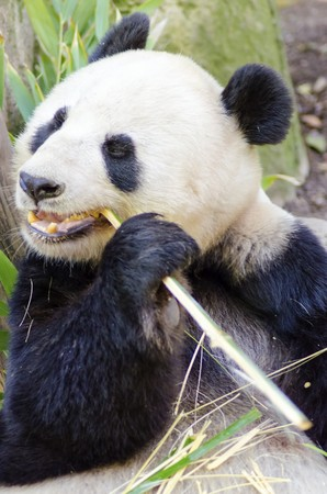 A cute adorable lazy adult giant Panda bear eating bamboo   photo