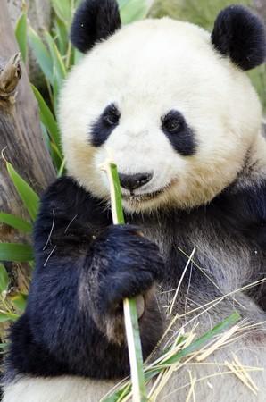 A cute adorable lazy adult giant Panda bear eating bamboo.