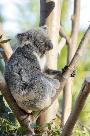 grasping: A cute adorable adult koala bear sitting on a tree grasping a branch with its claws.