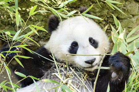 Panda bear eating bamboo   photo