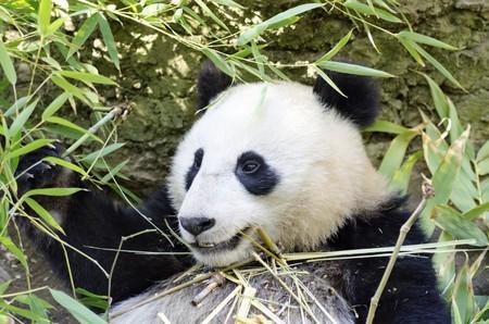 A cute adorable lazy baby giant Panda bear eating bamboo.  photo