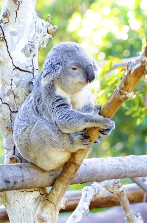 A cute adorable adult koala bear sitting on a tree grasping a branch with its claws. The Phascolarctos cinereus is an arboreal herbivorous marsupial native to Australia with gray fur and round fluffy ears. Stock Photo - 28102212