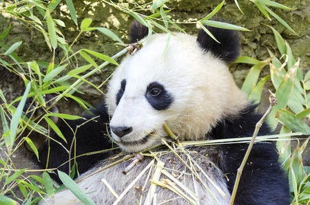 A cute adorable lazy baby giant Panda bear eating bamboo. The Ailuropoda melanoleuca is distinct by the large black patches around its eyes, over the ears, and across its round body. photo