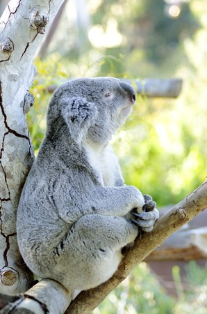 big ear: A cute adorable adult koala bear sitting on a tree looking very dreamy and pensive. The Phascolarctos cinereus is an arboreal herbivorous marsupial native to Australia with gray fur and round fluffy ears.