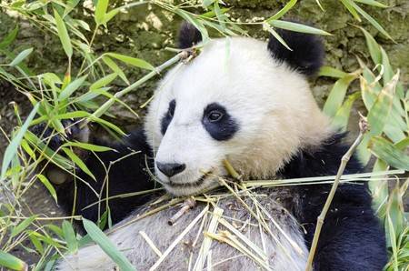 terrestrial mammal: A cute adorable lazy baby giant Panda bear eating bamboo. The Ailuropoda melanoleuca is distinct by the large black patches around its eyes, over the ears, and across its round body. Stock Photo