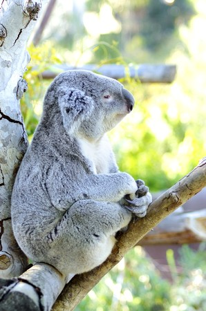 A cute adorable adult koala bear sitting on a tree looking very dreamy and pensive Stock Photo - 28139517