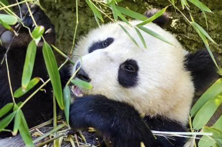 A cute adorable lazy baby giant Panda bear eating bamboo photo
