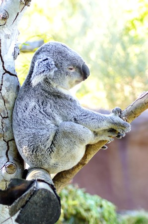arboreal: A cute adorable adult koala bear sitting on a tree grasping a branch with its claws. The Phascolarctos cinereus is an arboreal herbivorous marsupial native to Australia with gray fur and round fluffy ears.