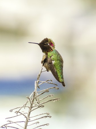 Profile view of a small Annas Hummingbird sitting on a perch. Distinctive for its long, sharp, straight and slender beak, iridescent red crown and gorget, iridecent bronze, green back gray, brown belly and long bill.