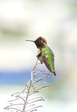 back straight: Profile view of a small Annas Hummingbird sitting on a perch. Distinctive for its long, sharp, straight and slender beak, iridescent red crown and gorget, iridecent bronze, green back gray, brown belly and long bill.