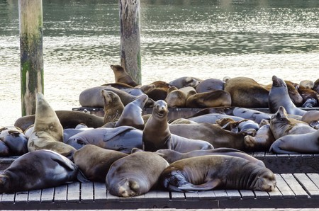 Young cute sea lions lying on a wooden platform on Pier 39 on Fishermans Wharf in San Francisco, California, United States of America. Stock Photo