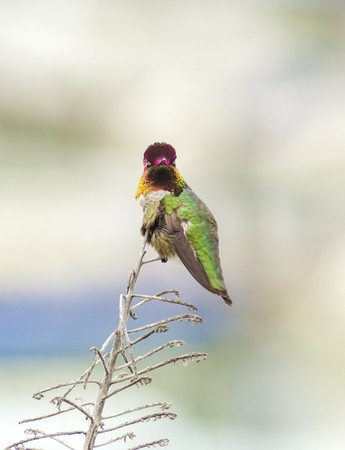 back straight: Portrait view of a small Annas Hummingbird sitting on a perch. Distinctive for its long, sharp, straight and slender beak, iridescent red crown and gorget, iridecent bronze, green back gray, brown belly and long bill.