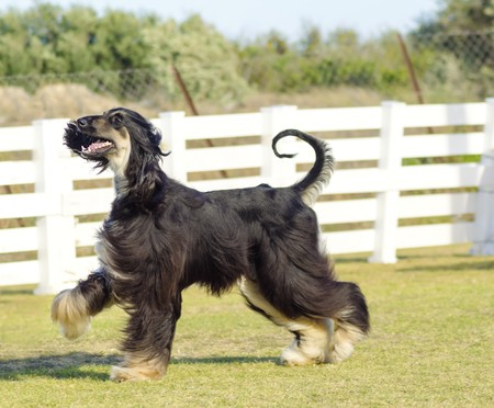 A profile view of a healthy beautiful grizzle, black and tan, Afghan Hound walking on the grass looking happy and cheerful. Persian Greyhound dogs are slim and slender with a long narrow head, long silky coat and curly tail. Stock Photo